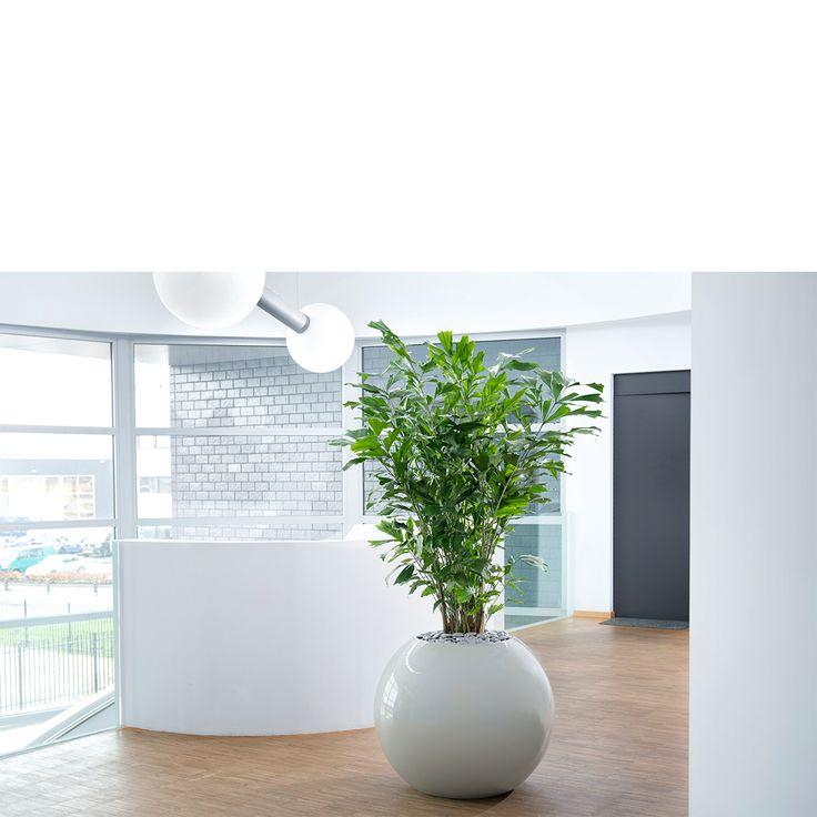 Sphere planter met Caryota mitis  Interieurbeplanting | Kantoorplanten | Planten | Kantoor | Hydrocultuur | Luxe | Onderhoud | Kunstplanten | Potten | Binnenhuisarchitectuur | Inrichting | Bedrijven | Groen |