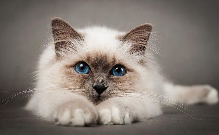 стрижка кошек  Кемерово  Стрижка кошек с выездом на дом. Гигиеническая стрижка (форма-Лев), мойка кошек, удаление колтунов, без наркоза. С любовью к Вашим питомцам!