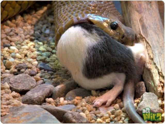 What do inland taipans eat? The Fierce Snake / Inland Taipan Facts - Questions and Answers.