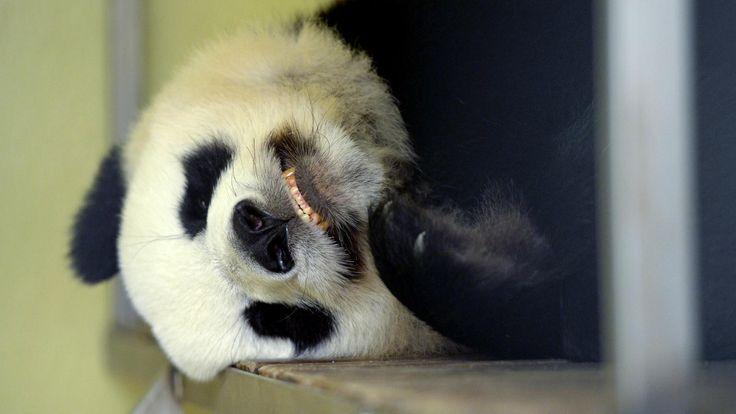Alors que Huan Huan, la femelle panda du zoo de Beauval a mis bas.Franceinfo revient sur le parcours du combattant des soigneurs pour réussir à assurer la reproduction chez cette espèce vulnérable.