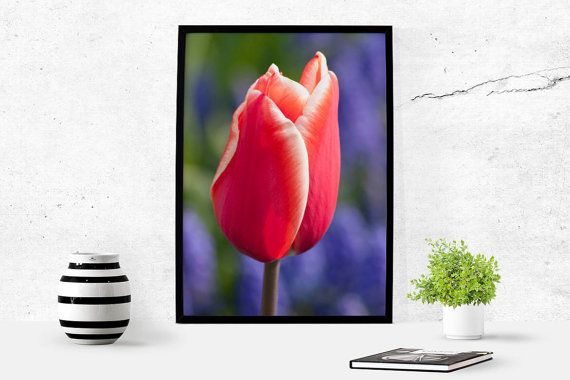 Red Tulip Holland Travel Photography Download by LydiaVideiraLight
