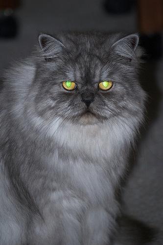 Blue Smoke Persian Cat