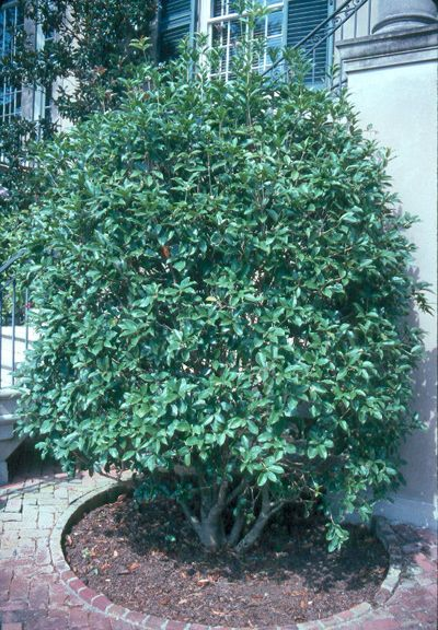 "Sweet olive. ""The dense growth habit and dark evergreen foliage of tea olives make them excellent choices for hedges, screens and individual specimen plants."" (from Clemson site again)"