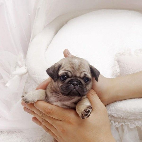 teacup pug puppy breed pug color classic sex male expected adult weight 418