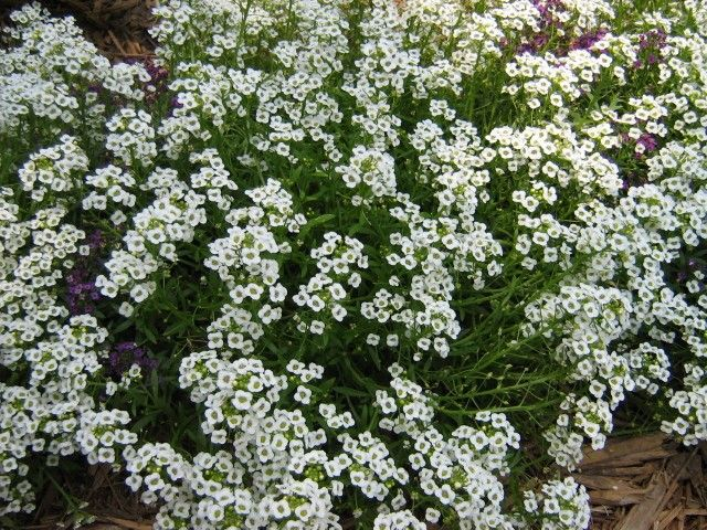 Few annual plants can match the heat and drought hardiness of sweet alyssum. Find information on how to grow alyssum in the garden and its care in the article that follows.