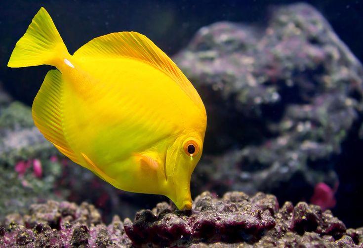 O cirurgião-amarelo, tal como todos os membros da sua família, tem duas lâminas afiadas em cada lado do pedúnculo caudal, que são projetadas em situação de defesa. Tem uma boca longa e com dentes especializados, que lhe permite raspar as algas da superfície dos corais. É comum encontrar este curioso peixe a nadar sozinho ou em pequenos grupos, imediatamente abaixo da zona batida pelas ondas no recife de coral.