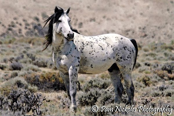Great Looking Black Appaloosa Stallion.(Wyoming) Pam Nickoles Photography