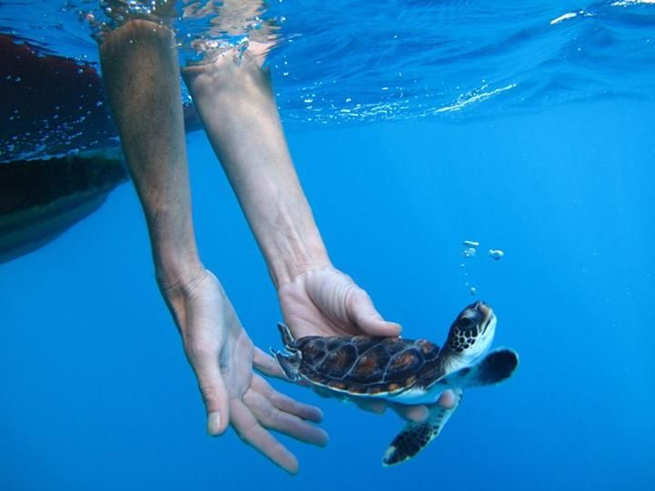 A rescued juvenile green turtle being released off Lord Howe Island, NSW