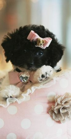 Teacup Poodle Puppies...and this is what she would do to it, I'm sure