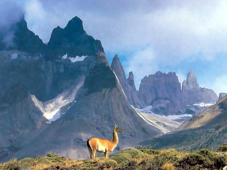 Guanaco Patagonico