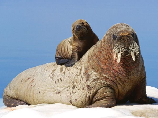 Walrus (Odobenus rosmarus), a large marine mammal with a discontinuous distribution about the North Pole in the Arctic Ocean