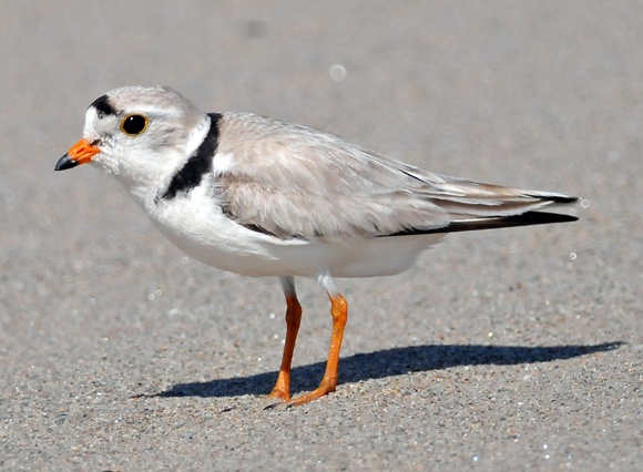 An endangered Piping Plover (photo taken by D. Doucet at Kouchibouguac National Park). Photo belongs to Parks Canada http://pc.gc.ca