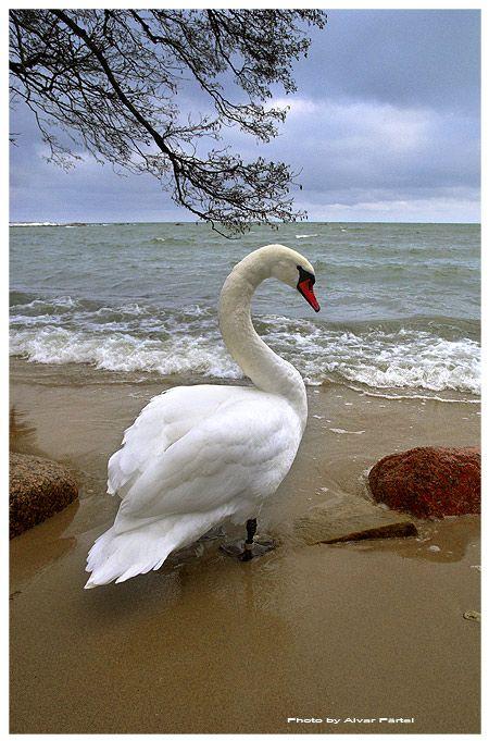 swan: Photo by Photographer Aivar Pärtel - photo.net