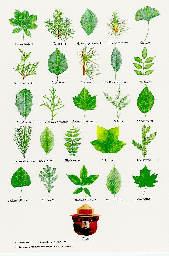 "Smokey Bear's Tree Leaves - ""Think"". This poster is an illustrated compilation of common North American tree leaves. Brought to you by your State Forester and the United States Forest Service."
