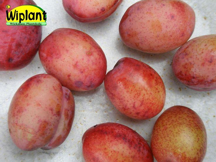 Prunus domestica 'Parikkala'. Söt, aromrik, tjockskalig medelstora frukter.  Mognar i augusti, kan lagras några veckor. Självfertil sort som passar bra som pollinerare.