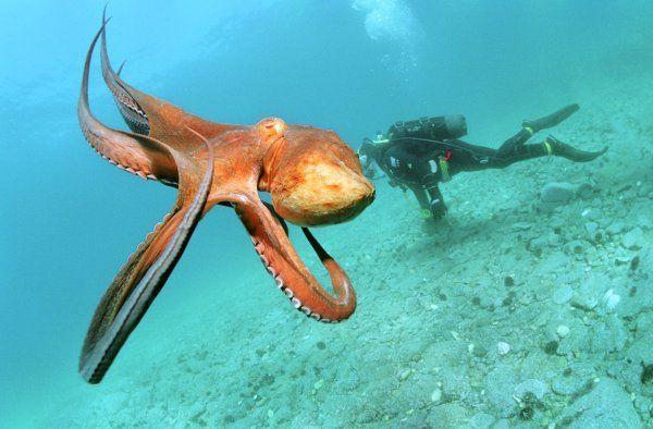 Осьминоги используют останки съеденных медуз как оружие