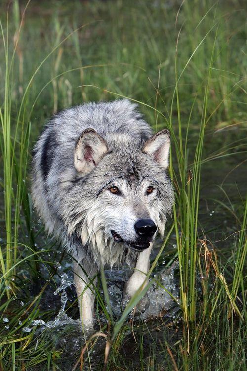 grey wolf | animal + wildlife photography #wolves