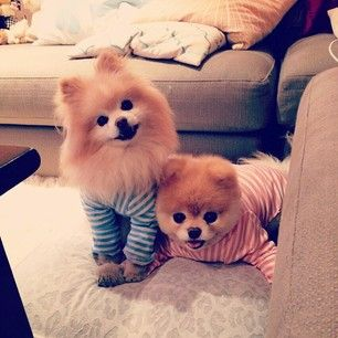When they had a slumber party. | 42 Times Boo And Buddy Were The Cutest Dogs In The World In 2014