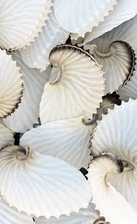 Paper Nautilus - octopus egg cases, not seashells. Delicate, fragile…