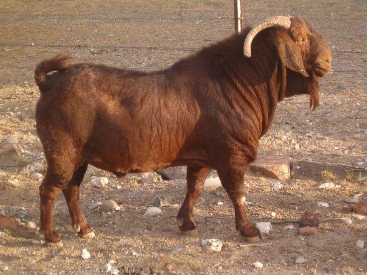 Goat Breeds   Kalahari Red Buck bred by Mr Albi Horn, Hartebeeshoek Stud Farm, South ...