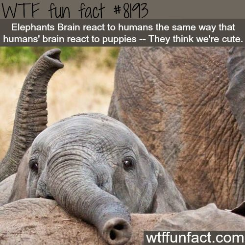 CLICK HERE TO HELP THE THE ENGENDERED ELEPHANT POPULATION Raise Awareness and Show Your Support for a Great Cause! Elephant numbers have dropped by 62% over the last decade, and they could be mostly extinct by the end of the next decade. As of 2017,...