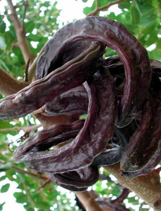 Photo Ceratonia siliqua