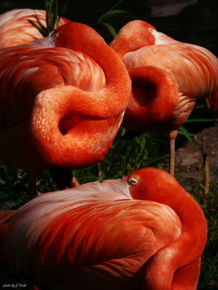Flamingo,Prague Zoo 2015