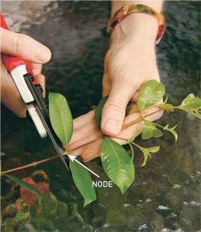 How to take a Cutting - Propagating Plants Varieties easy to grow from semi-hardwood cuttings:  Abelia - Berberis-Bottlebrush - Box - Bush - Camellia - Chinese lantern - Hebe - Tea tree Correa - Deutzia - Escallonia - Gevillea -Lavender - Lilly pilly -  Photinia - Pittosporum Plumbago -Rosemary - Viburnum - Weigela