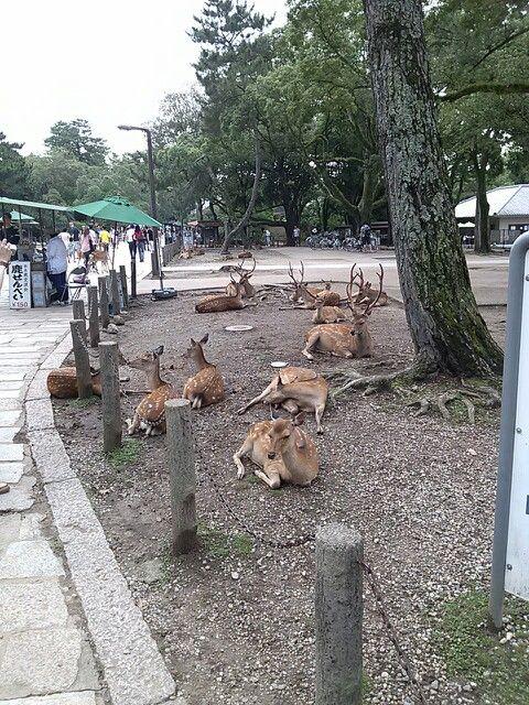 #nara #narapark #deer #奈良 #奈良公園 #鹿 さん ダバー