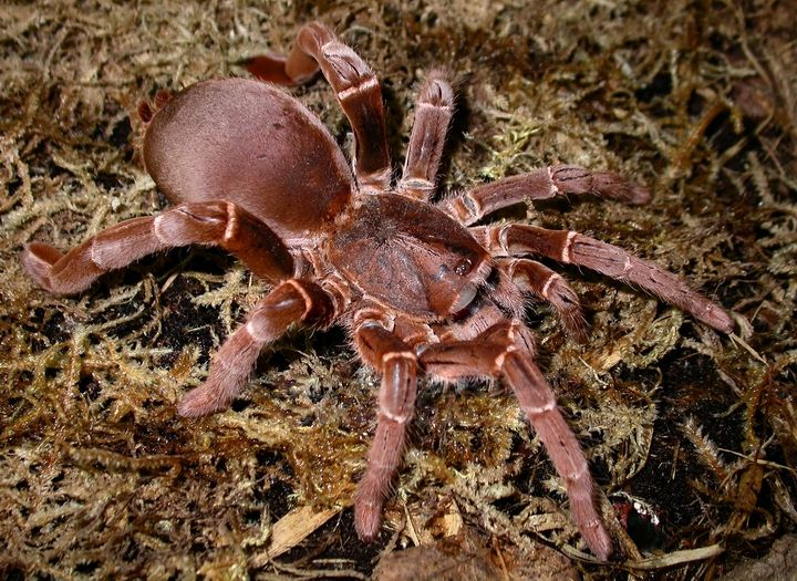 King Baboon Spider (source: wiki)--a type of tarantula, but they don't make as good of pets as their more docile cousins.  They are aggressive and have a painful bite.