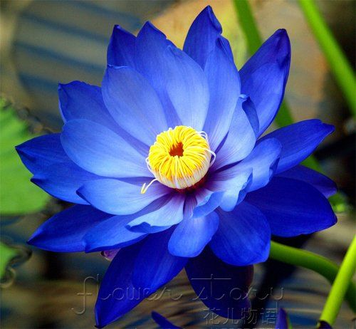 how to grow blue lotus from seed