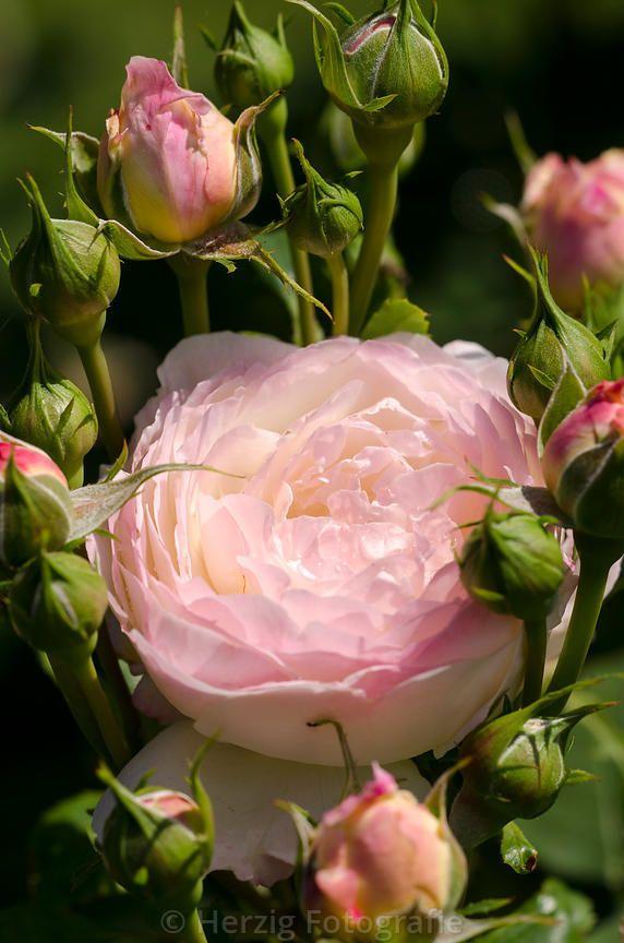 ~'Andre Brichet' Rose~