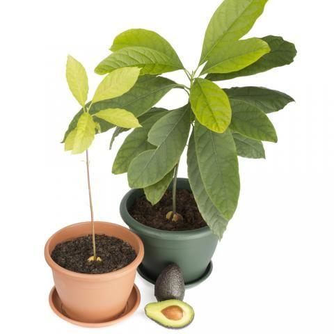 Die besten 25+ Indoor avocado baum Ideen auf Pinterest Anbau von - tipps pflege pflanzen wintergarten