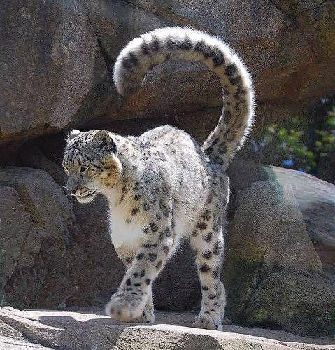 """ユキヒョウ""""Snow leopard""""は、ヒマラヤ山脈・アルタイ山脈などの標高の高くて、雪の多いところに生息する、ネコ科ヒョウ属の動物です。さて、このユキヒョウ、普通のヒョウはもちろん、ライオンや虎など他のネコ科と比べても、ずば抜けて雄大な肉体的特徴を備えていることでも知られています。それが何かというと……。[この記事のすべての動画・画像を見る]巨大なしっぽ!長さも太さも、立派過ぎて不自然なほど。..."""