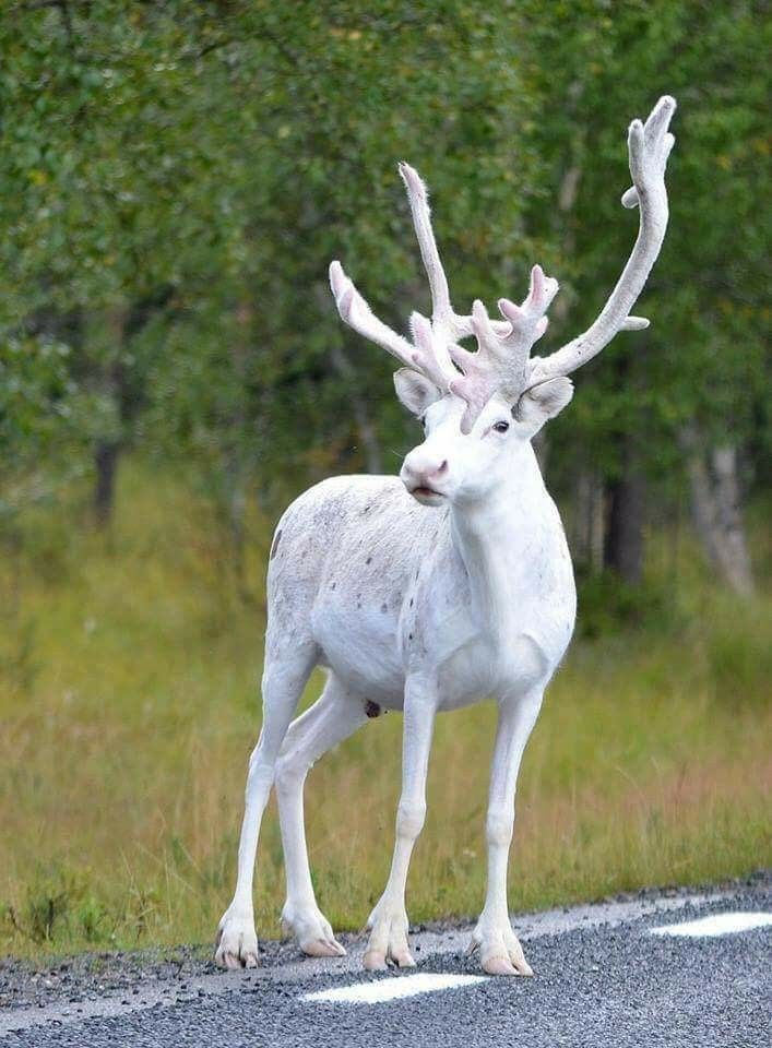 Rare white reindeer in Sweden