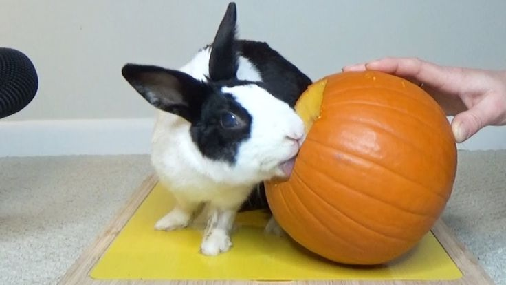 Tiny pet bunny rabbit eating pumpkin for Halloween ASMR     #먹방, #ARabbitVid…
