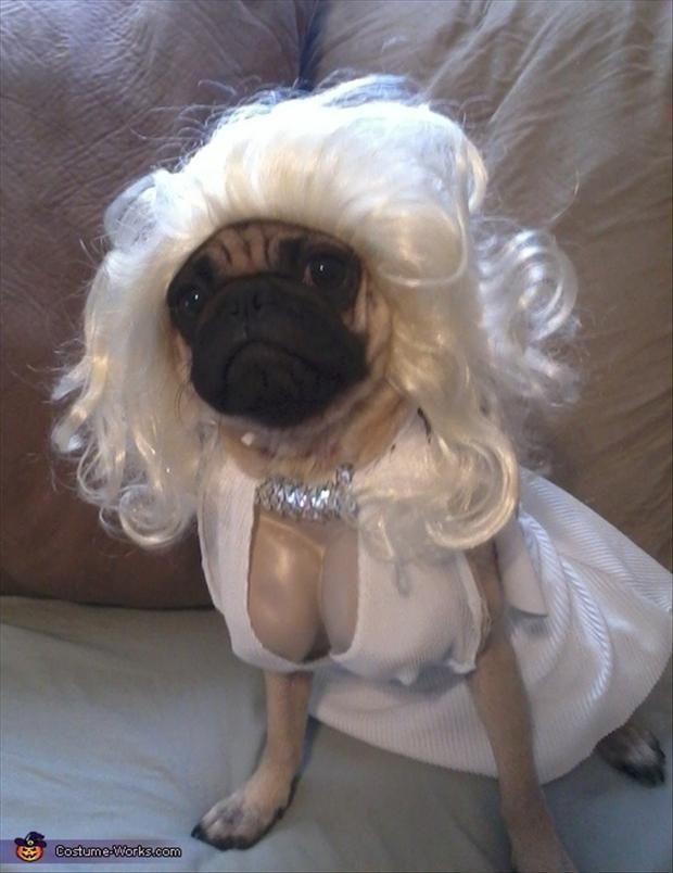 Pug getting married