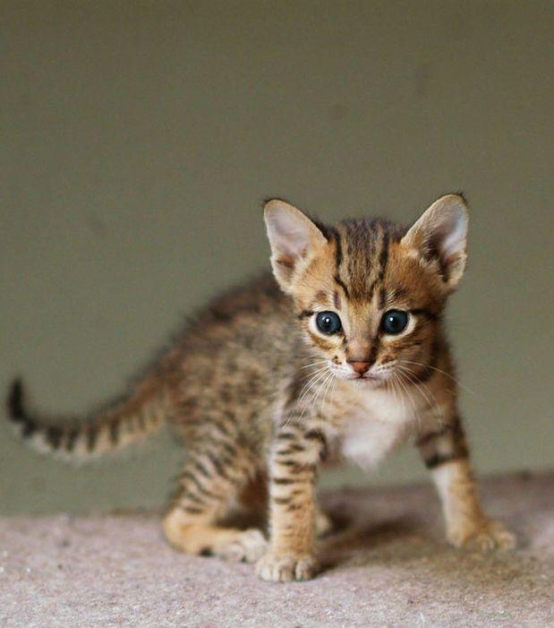 Gato Da Raca Savannah E Um Animal Hibrido Cruzamento Do Gato Domestico Felis Sylvestris Catus E O Serval Leptailurus Serval Gatos Domesticos Gatos Animais