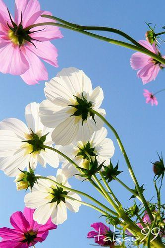 más de 25 bellas ideas sobre cosmos flower pictures en pinterest