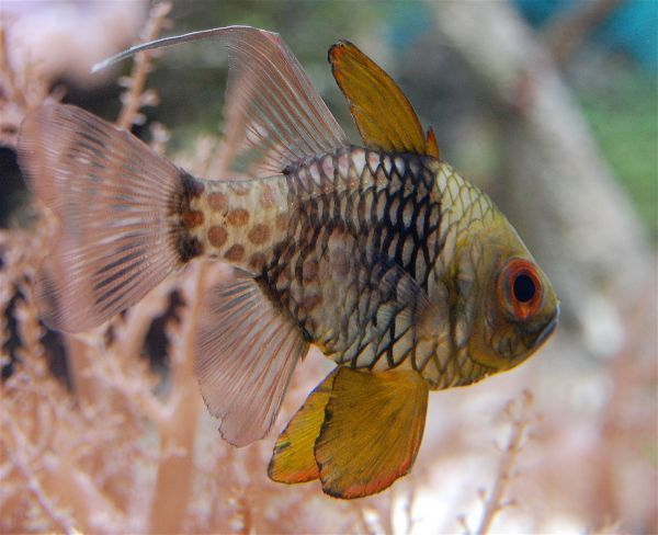 Pajama Cardinalfish Marine Aquarium Fish Aquarium Fish Tank Saltwater Aquarium Fish