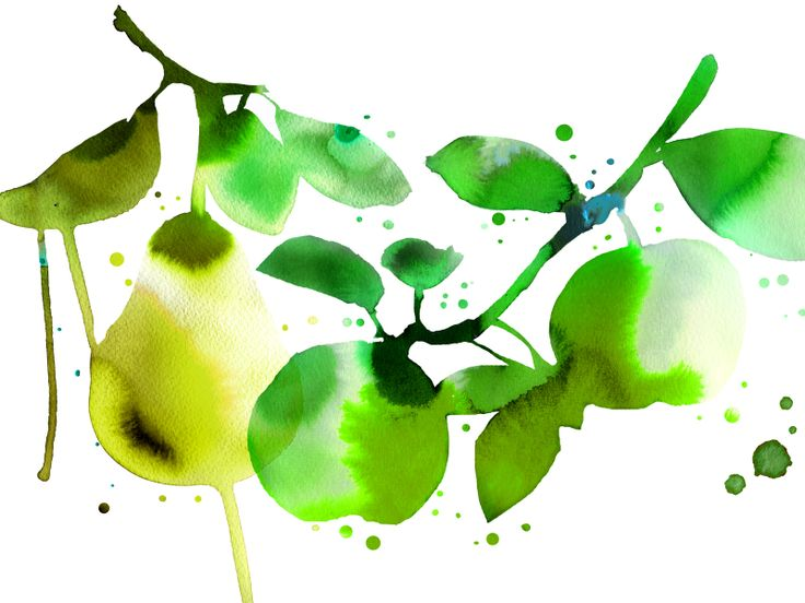 Olvi Cider   BOND fresh watercolour branches stems pears and apples