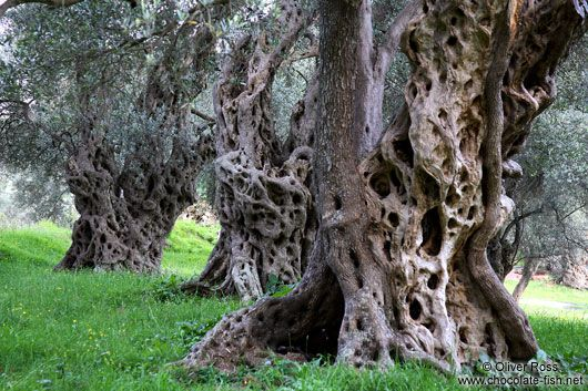 Old olive trees near Bar Oliver Ross
