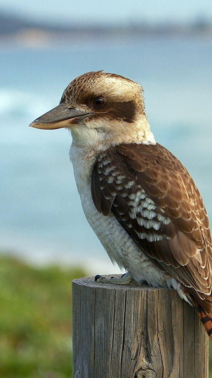 Kookaburra bird - Sitting pretty