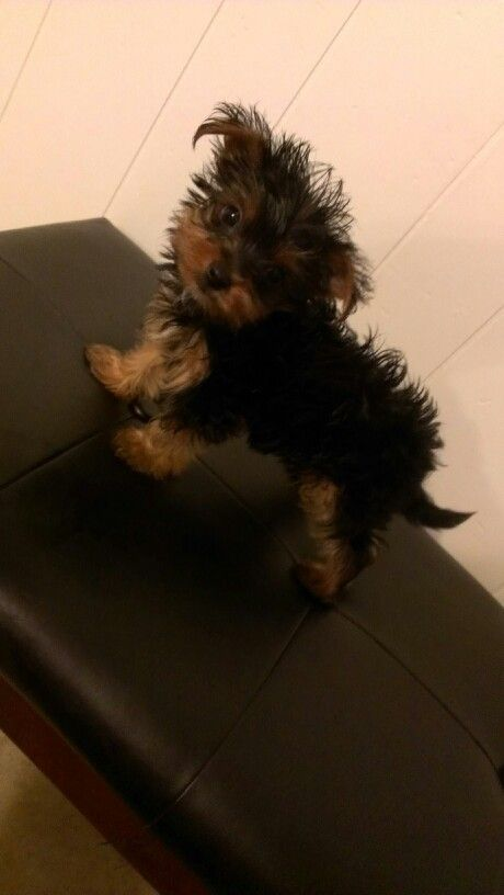 Sonny bruno. Yorkshire terrier #yorkie #puppy #tea cup yorkie #cute puppy