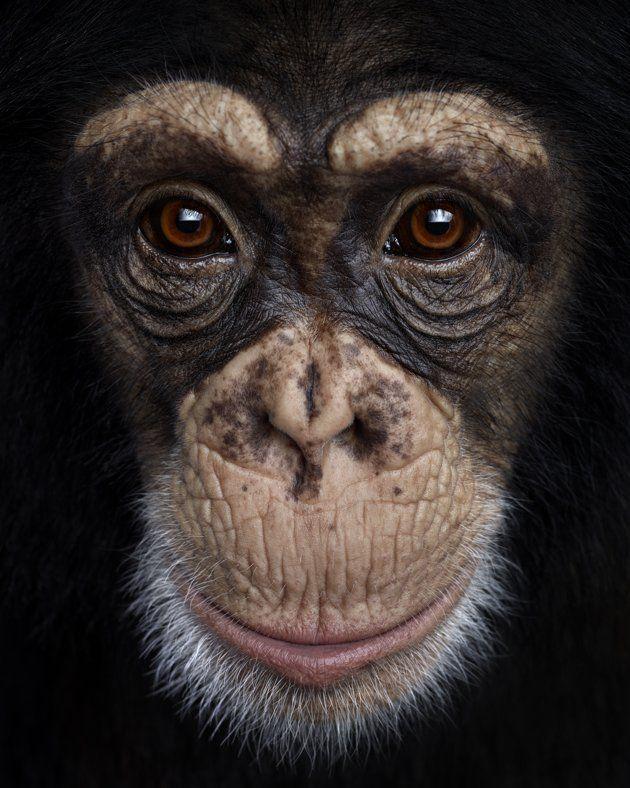 close animal animals chimpanzee monkey portraits eyes portrait wild stunning brad face photographer chimp words its wilson funny poses apes