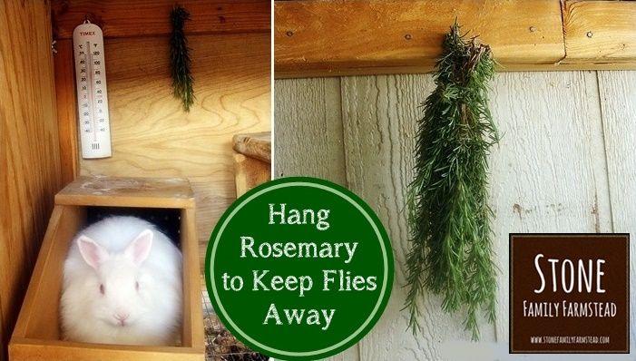 Häng Rosmarin (Rosmarinus officinalis,um Fliegen aus dem Kaninchenstall fernhalten zu halten