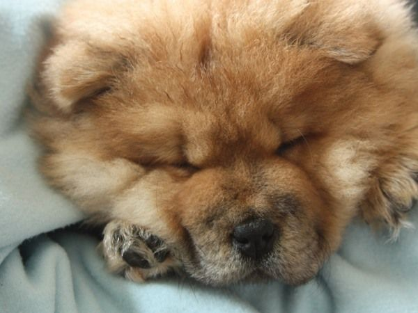 #Chow Chow. Ingezonden op: 20 januari 2014: Chanelle Toen Chanelle nog klein was.