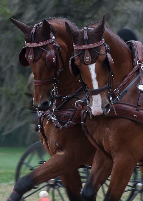 Beautiful team of carriage horses