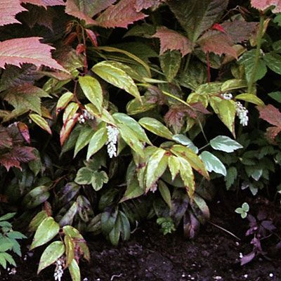 Leucothoe fontanesiana  'Rainbow' is striking but potentially less vigorours. Great native plant