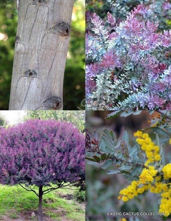 Purple Acacia Baileyana 2 Feet Tall Ship In 6 Pot Etsy In 2020 Acacia Baileyana Acacia Flower Seeds